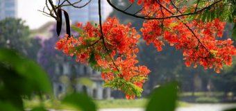 Hà Nội 12 mùa hoa trong tiếng Trung
