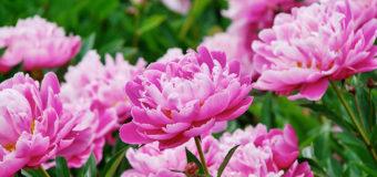 Các loài hoa của Trung Quốc nổi tiếng đi vào thơ ca