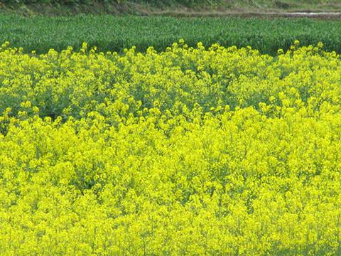 Hình ảnh Các loài hoa của Trung Quốc nổi tiếng đi vào thơ ca 5