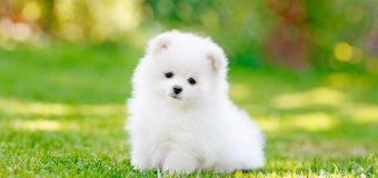 Văn mẫu: miêu tả con chó bằng tiếng Trung
