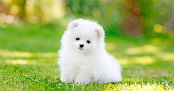 Hình ảnh Văn mẫu: miêu tả con chó bằng tiếng Trung 2