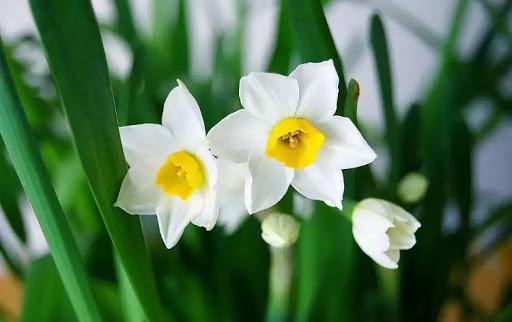 Hình ảnh Tên các loài hoa của Trung Quốc và ý nghĩa 10