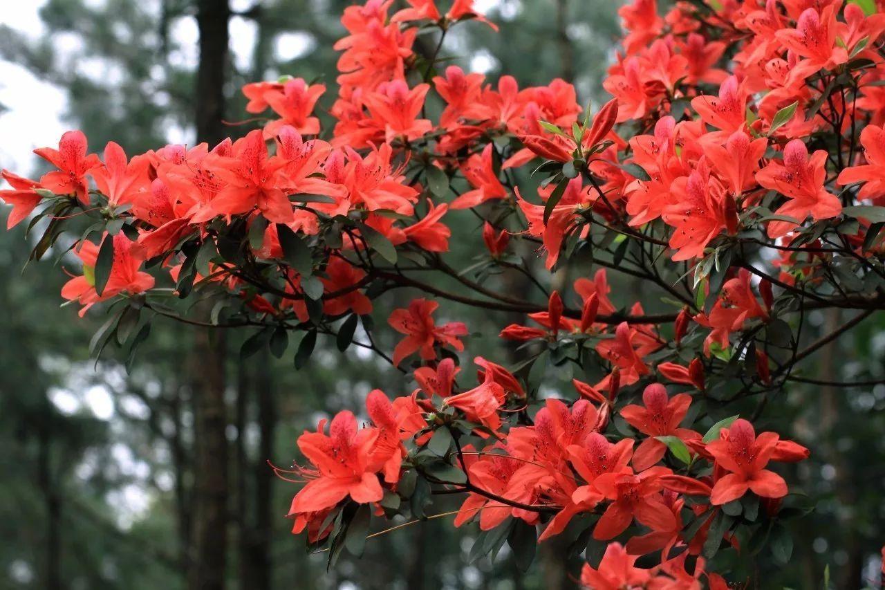 Hình ảnh Tên các loài hoa của Trung Quốc và ý nghĩa 6